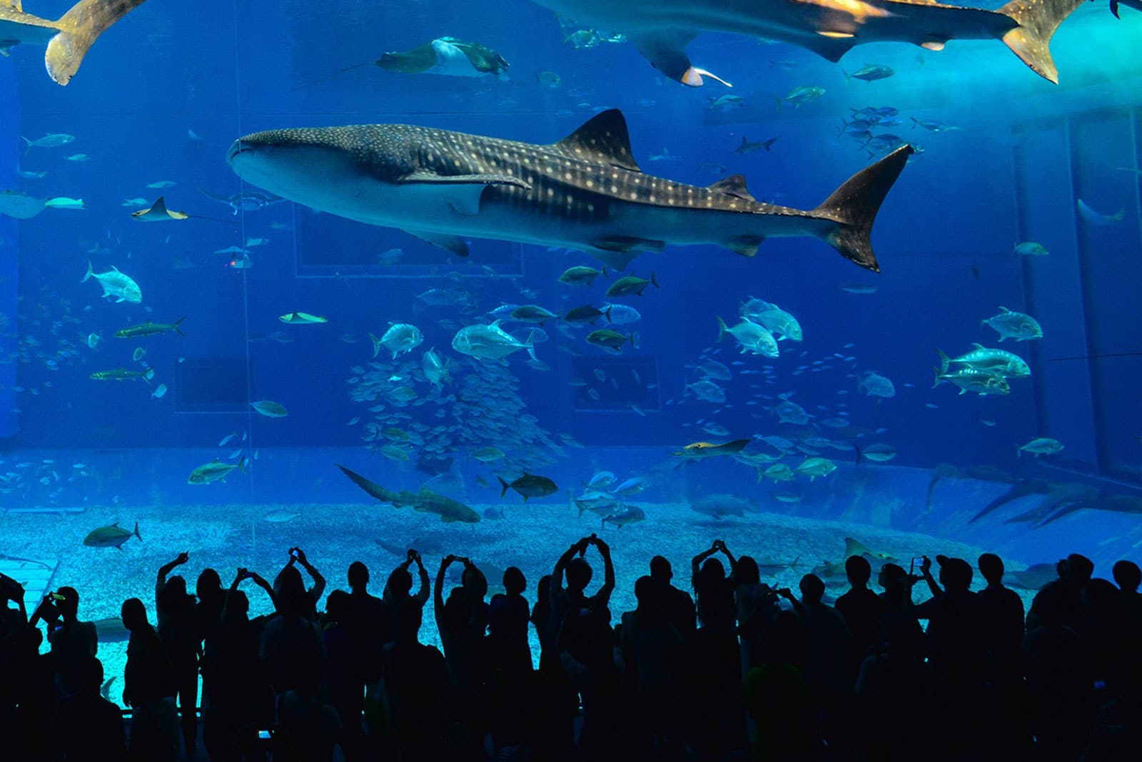 Whale Sharks In Kenya