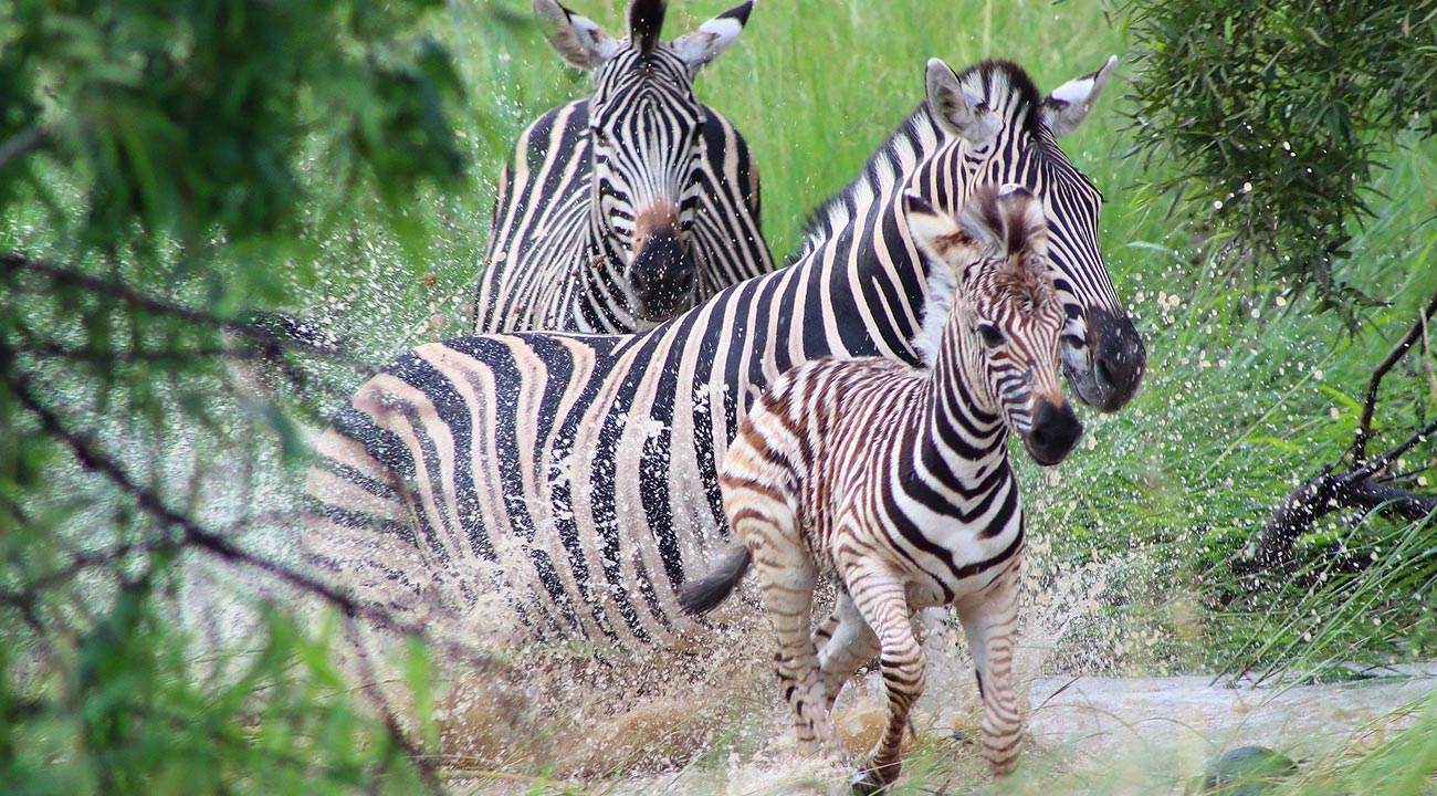 Zebras While On An African Safari