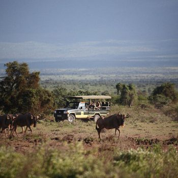 Safaris With Wildebeest In Africa